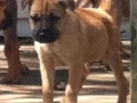 Shar Pei - Sr Toby - Small - Baby - Male - Dog Our