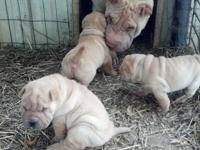 Shar Pei - Sugar - Medium - Senior - Female - Dog Meet