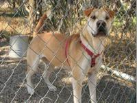 Shar Pei - Wolfie - Large - Young - Male - Dog Wolfie