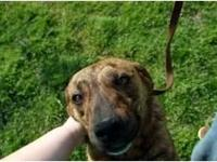 Shar Pei - Zoey - Large - Adult - Female - Dog Zoey is