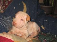 Beautiful 12 week old female Shar-pei young puppy. She