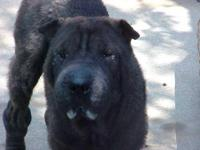 Shar Pei - Glenda - Medium - Young - Female - Dog *