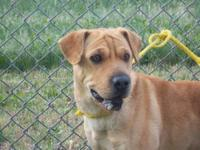 Shar Pei - Greta - Medium - Adult - Female - Dog Greta