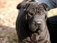 Shar Pei - Lou - Medium - Young - Male - Dog Hello to
