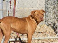 Shar Pei - Shawn - Medium - Young - Male - Dog Shawn is