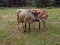 Interested in Raw milk? Buy a share in our Jersey herd