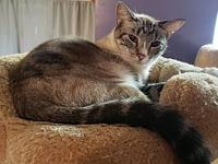 My story Sharkie is a gorgeous Lynx Siamese. He is