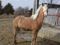 THIS IS A REALLY NICE SHARP FLASHY PALOMIN0 ROAN COLT