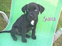 """Shasta"" is an American Bulldog/Collie mix. She is 8"