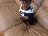 Sheeba's story Name: Sheeba Breed: Min Pin Age: 5