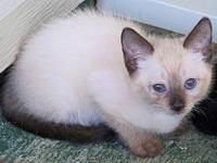 Sheela's story Sheela is a seal point Siamese