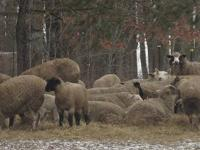 Entire sheep flock must go. Includes yearling Cheviot