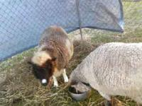 2 sheep. each 8 yr old females. One is a babydoll sheep