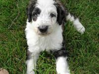 Sheepadoodle Puppies! (Old English Sheepdog and Poodle