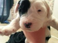 Sheepadoodle Puppies- $1,200-$1,500-Taking deposits