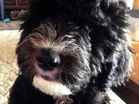 Sheepadoodle Babies have arrived!!! Shiloh has