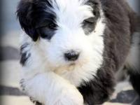 Old English Sheepdog/Standard Poodle Puppies will be 8