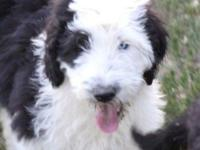 Old English Sheepdog/Standard Poodle puppies! I have 2