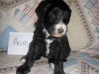 F1 Sheepadoodle young puppy. Mom is an AKC apricot