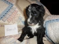 F1 Sheepadoodle puppy. Mother is an AKC apricot basic