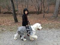 Luna (royal standard silver and white parti poodle) was
