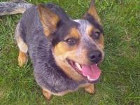 Sheila 23995-d's story Are Cattle Dogs just your cup of