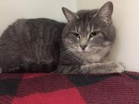 SHEILA's story SHEILA - A088033 is a female, gray tabby