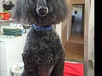 Shelly's story Shelly is a 9yr. female standard poodle,