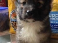 Lovely Shetland Sheepdog puppies. 3 males with really
