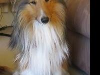 Cute sheltie puppy call for more information. Update: