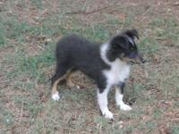 SHELTIE PUP AKC MALE,SUPER SWEET, TRI,12 WEEKS ,SHOTS