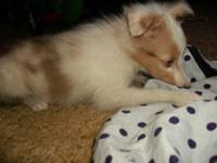 Very small (female) Sheltie, she is the runt of 5 in