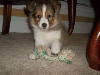 Two male AKC Sheltie puppies seven weeks old ready to