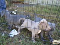 I have 2 girls and 1 boy available. All are sable in