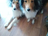 Sheltie puppies sable and white 1 male 1 female has