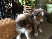 I have two female puppies for sale. These 2 beauties