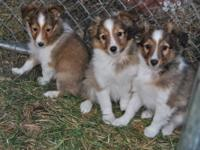 I have only 3 sable and white double registered Sheltie