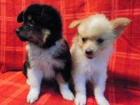 Ready for adoption NOW! These Shelties with a touch of