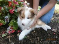 Only one beautiful and adorable male shetland sheepdog
