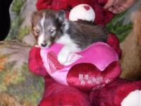 Hi I have a beautiful male sheltie pup will be ready to