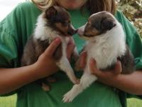 I only have 3 adorable and gorgeous shelties for sale.