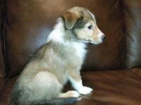 5 Sheltie young puppies available for adoption! 3