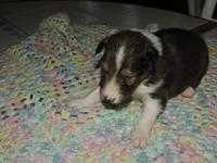 These are registered Shetland sheepdogs sold to pet