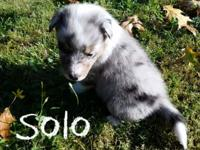 Shetland Sheepdog/Texas Heeler puppies (1/4 Heeler, 3/4