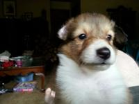 I have 4 male sheltie puppies ready for homes..THEY DO
