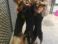 Weight:  41 lbs  These three black and tan coonhounds