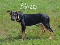 Shep's story Shep is a shy loving puppy looking for a