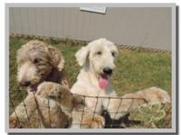 BabyBreed: german Shepherd / standard poodle mixOffered
