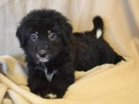 Shepherd - 16760838 - Medium - Baby - Male - Dog The