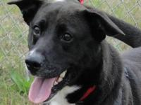 Shepherd - 82314 - Medium - Adult - Female - Dog This